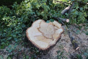 gefällter Lindenbaum mit Brandkrustenpilzbefall